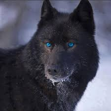 animal negro4